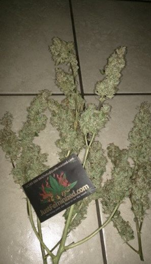 Auto Bubblegum Harvested Cannabis Plant Just Feminized Competition Winner 2018